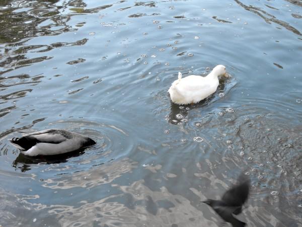 duckdudckgoose